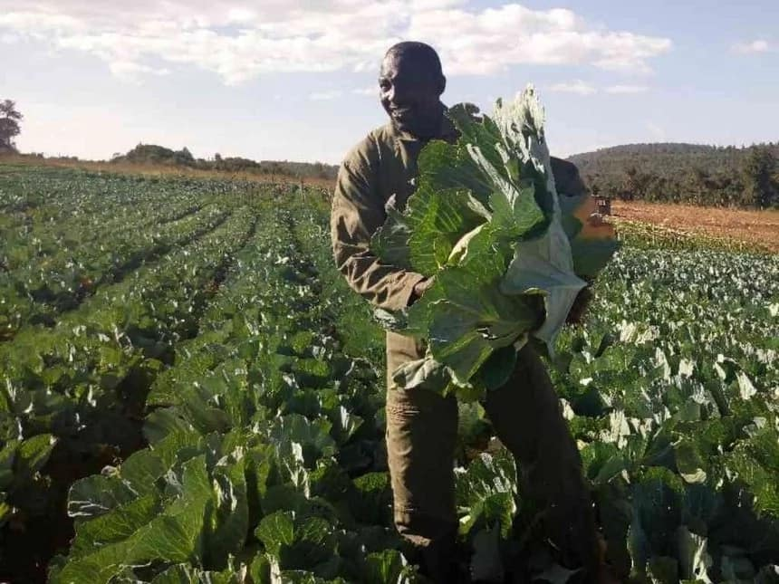 Lesiyampe ditches cows for cabbage