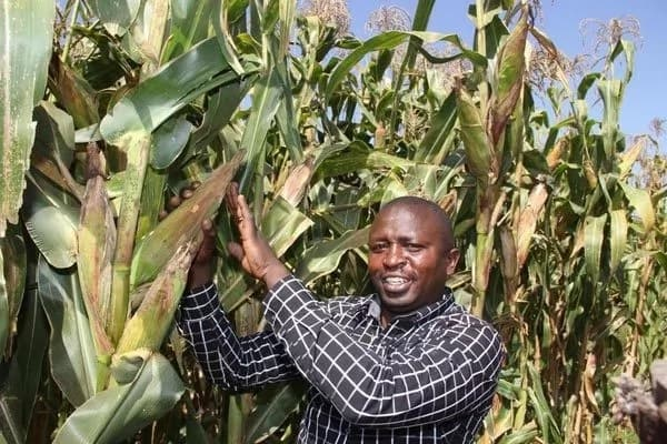 Good news for maize farmers as government moves to pay outstanding arrears