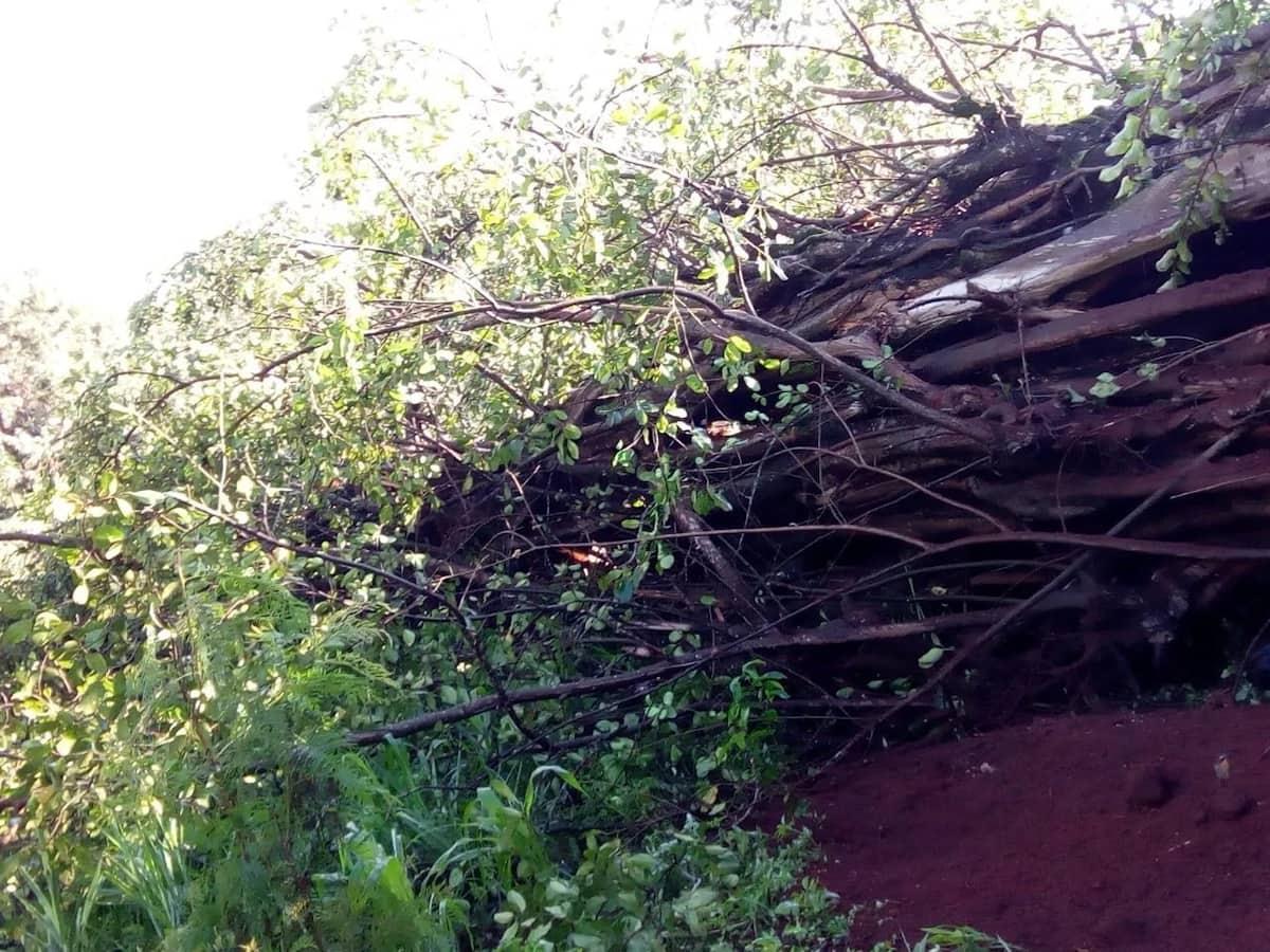 Mugumo ulio na miaka 80 waanguka ukiangalia Mlima Kenya!