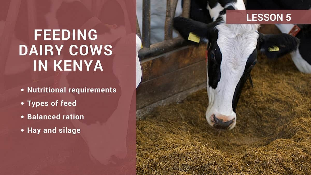 types of dairy cows, kenya cows, disadvantages of ayrshire cows