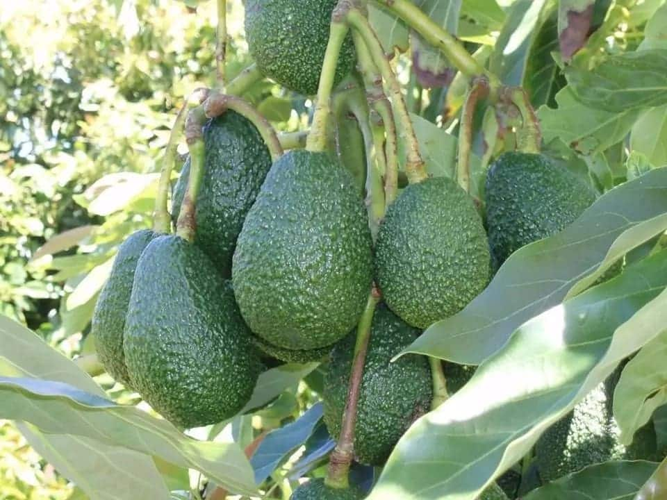 Meru man goes into hiding after killing 12-year-old son over Avocado