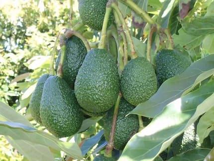 Jamaa atoroka baada ya kumuua mwanawe wa miaka 12 kufuatia mzozo wa avocado Meru