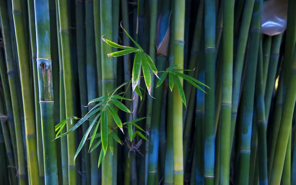 Giant Bamboo Farming in Kenya Business Plan ▷ Tuko co ke