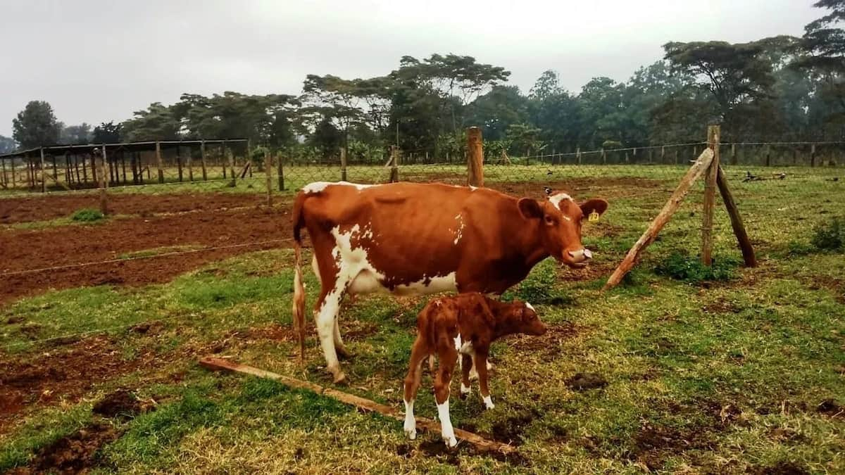 Milk production process Milk production equipment How to increase milk production