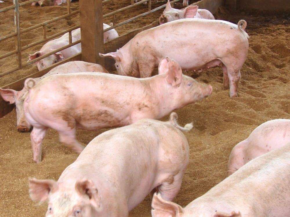 pig farming business plan in kenya