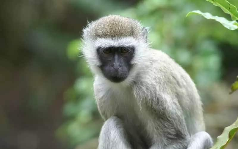 Two Mombasa men jailed attempting to sell a 2-month-old Monkey through Facebook