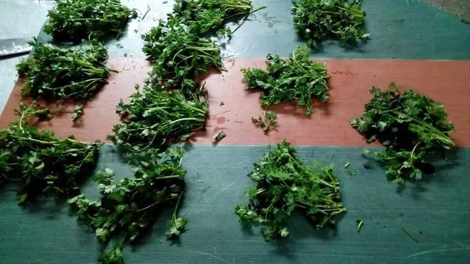 Behold we present to you the ultimate tip on how to keep dhania fresh, green for long