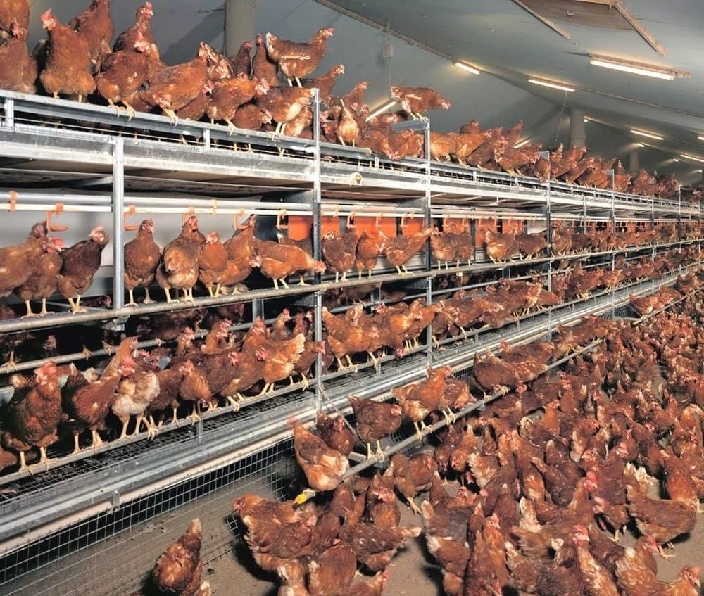 Poultry farming in Kenya 2018