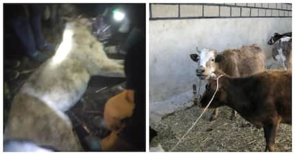 Hunter becomes hunted: Cow strangely kills lion in Meru