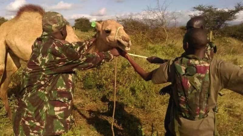 Police training camels to be used in fighting al-Shabaab on Kenya-Somali border