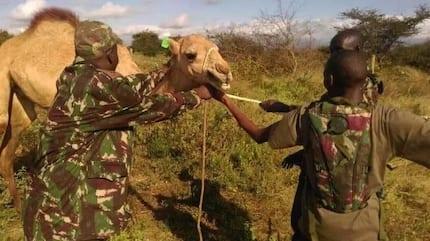 Ngamia kusaidia katika vita dhidi ya al-Shabaab