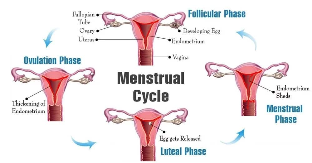 How Long Does Ovulation Last in a Woman