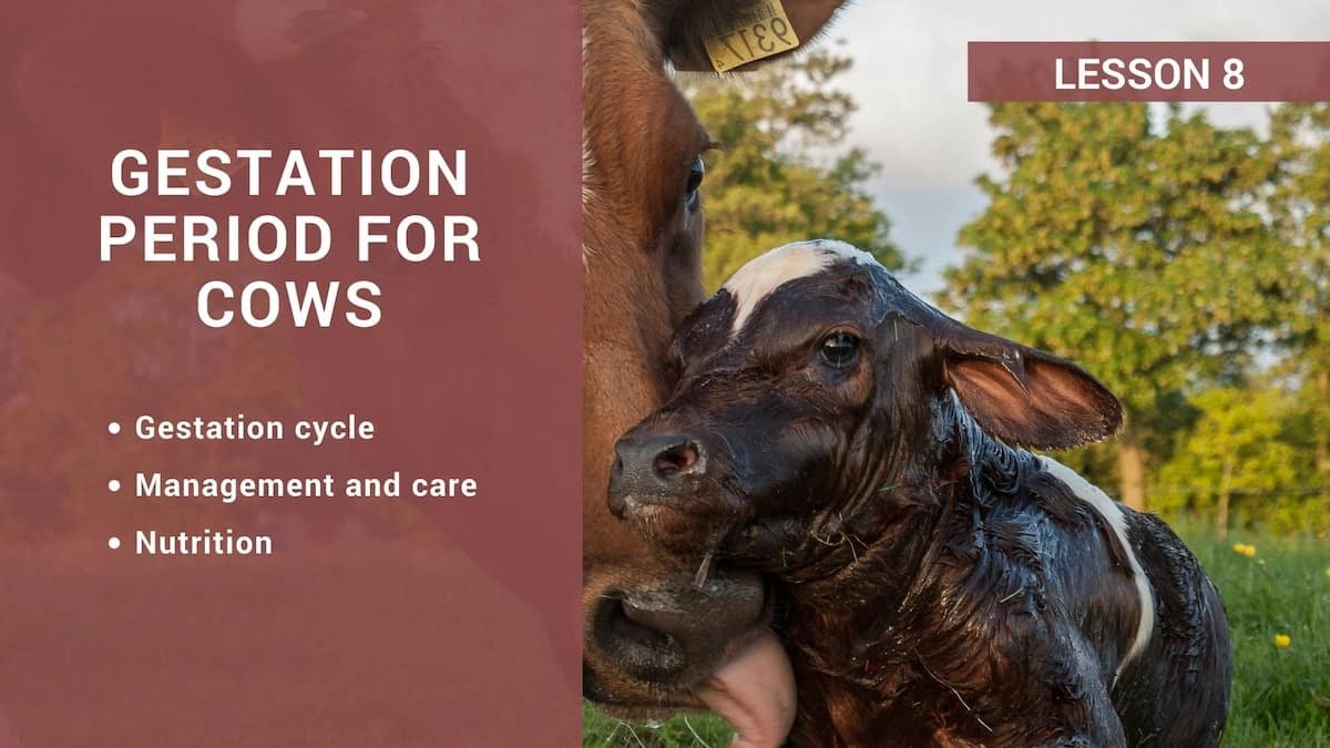 Gestation period for cows
