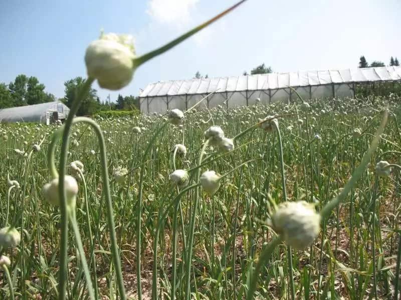 Garlic farming in Kenya - how to plant garlic?