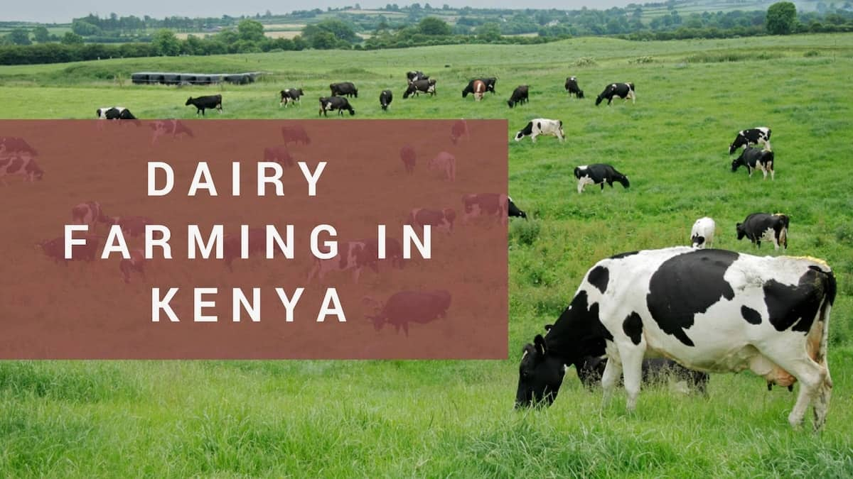 successful dairy farmers in kenya, dairy farming, dairy farms in kenya