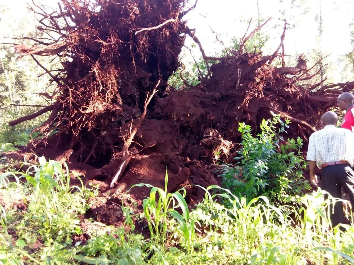 Kikuyu elders ponder next move after 80-year-old Mugumo tree falls facing Mt Kenya in Murang'a