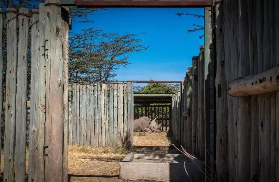 Emotional photos of dying Sudan, Last male Northern White Rhino at Ol Pajeta conservancy