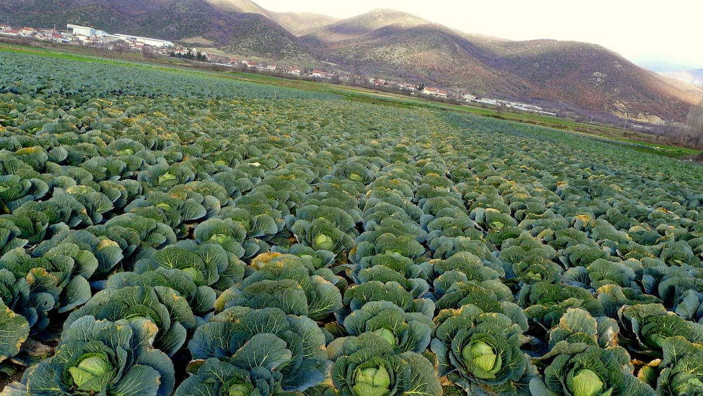 Commercial Cabbage Farming in Kenya: Tips, and Guidelines