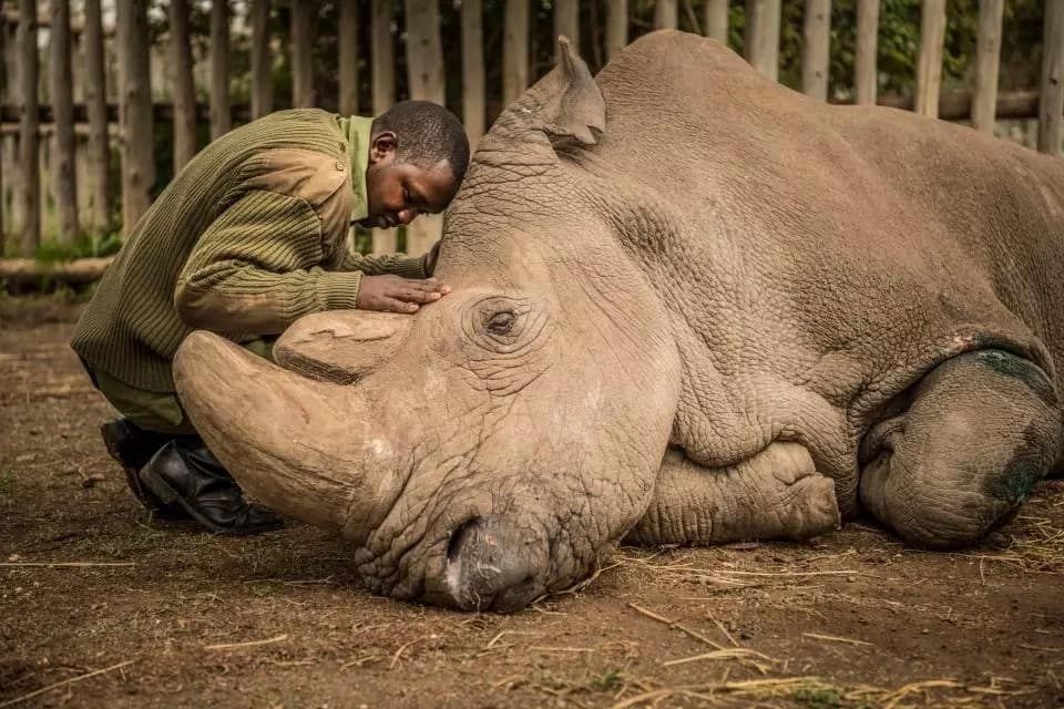 Memorial service scheduled for fallen last male northern white rhino, Sudan