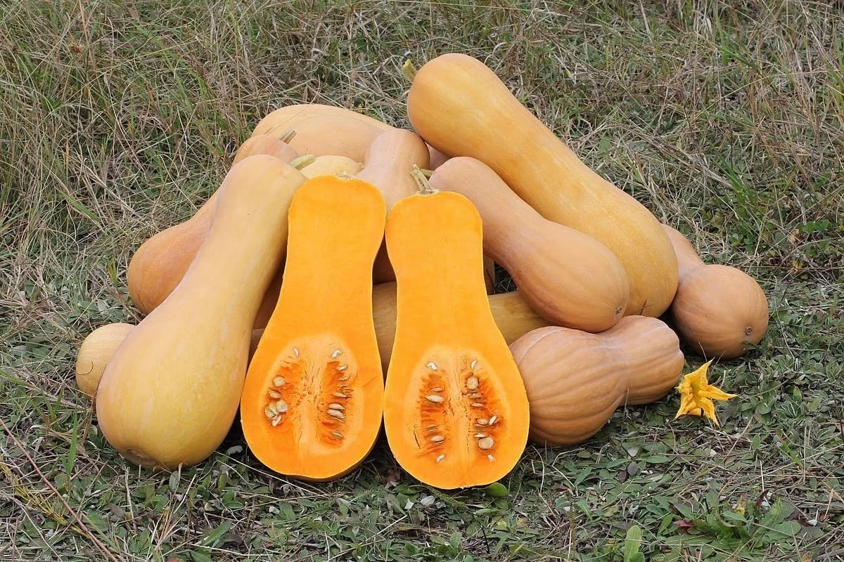 Butternut Farming in Kenya- Growing Pumpkins Made Easier