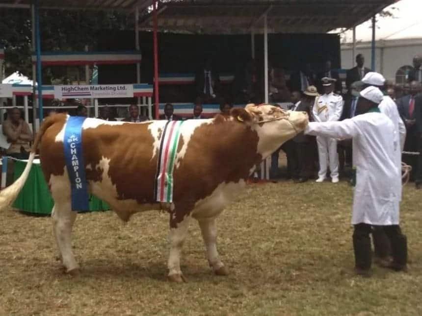 Uhuru, wife buy KSh 1 million bulls weeks after Ruto bought goats at KSh 10 million
