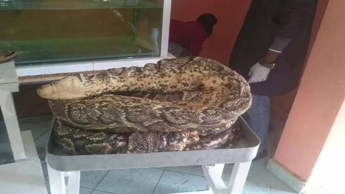 Omieri - Hadithi ya chatu mkubwa zaidi nchini Kenya