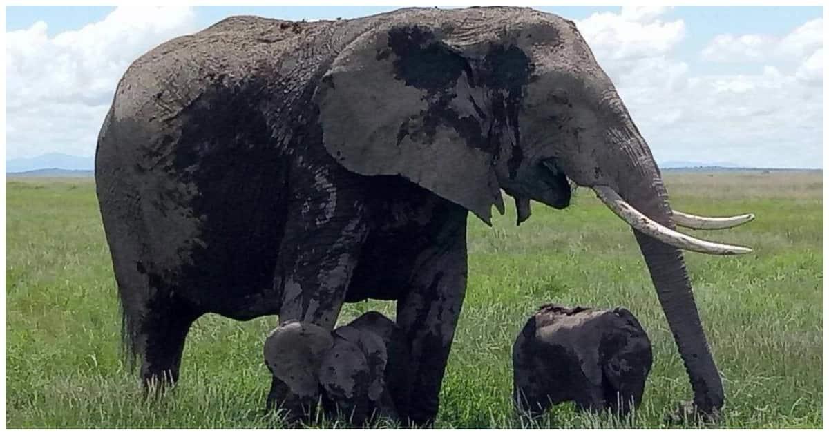 Tembo ajifungua pacha miaka 30 tangu tukio kama hilo lifanyike Kenya