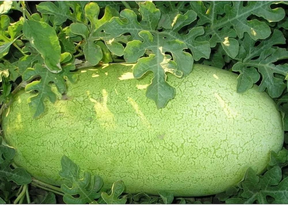 Profitable watermelon farming in Kenya