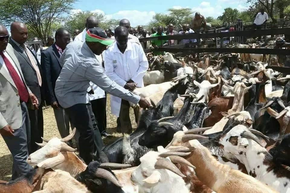 Uhuru, Ruto pay KSh 3 million for 300 goats in Rift Valley