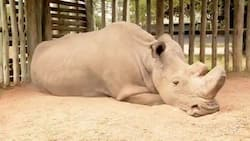 What extinction looks like! Heartbreaking image shows world's last male northern white rhino