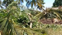 Kwale: Man Collapses, Dies after Excavators Destroyed His Palm, Mango Trees