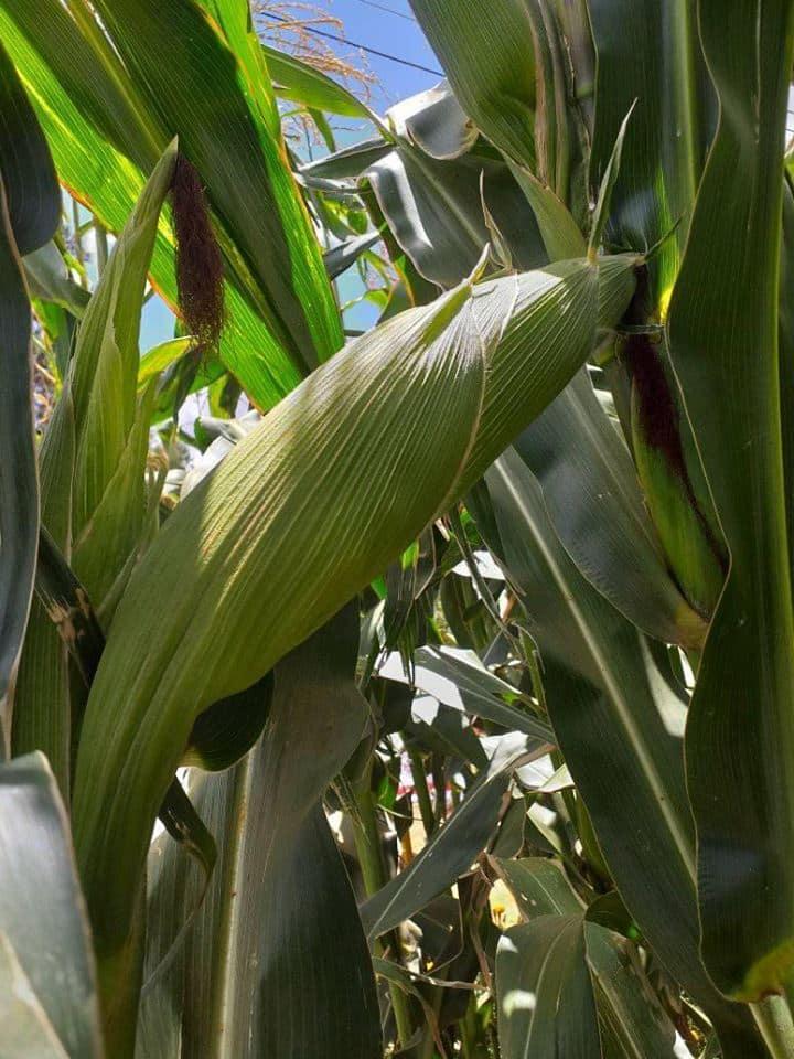 Kenya Seed Company maize varieties
