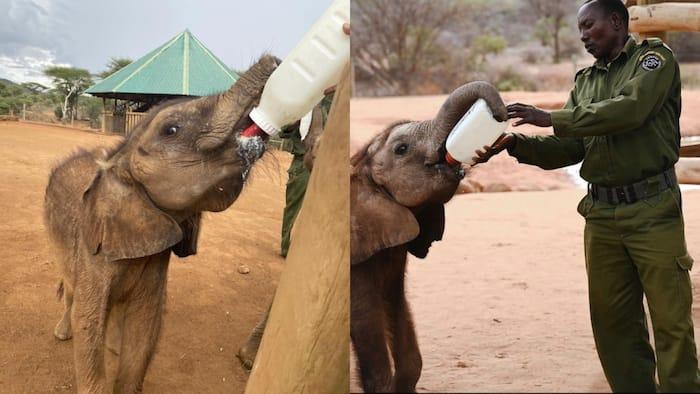 Samburu Women Benefit From Selling Goat Milk To Elephant Orphanages