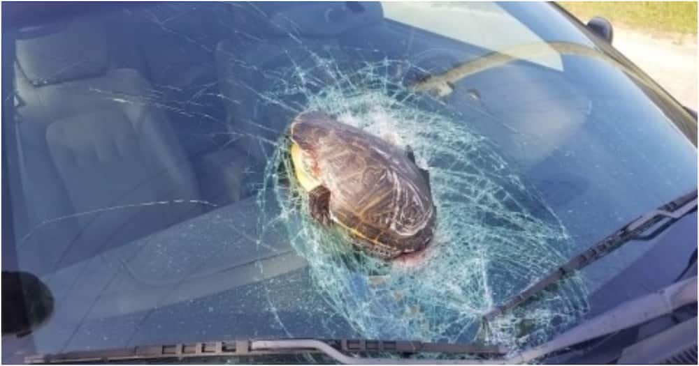 Woman shell shocked after turtle smashes through windshield while driving on highway