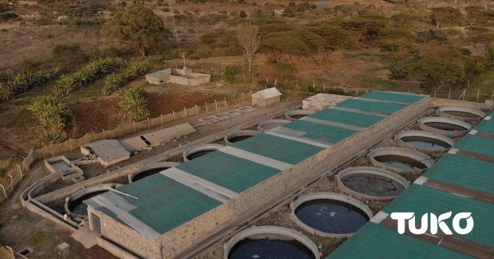 Kamuthanga tilapia-based fish farm in Machakos county. Photo: Mercy Chebet.