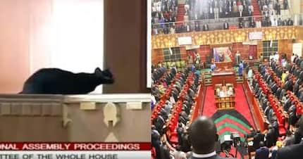Black cat interrupts business in Parliament