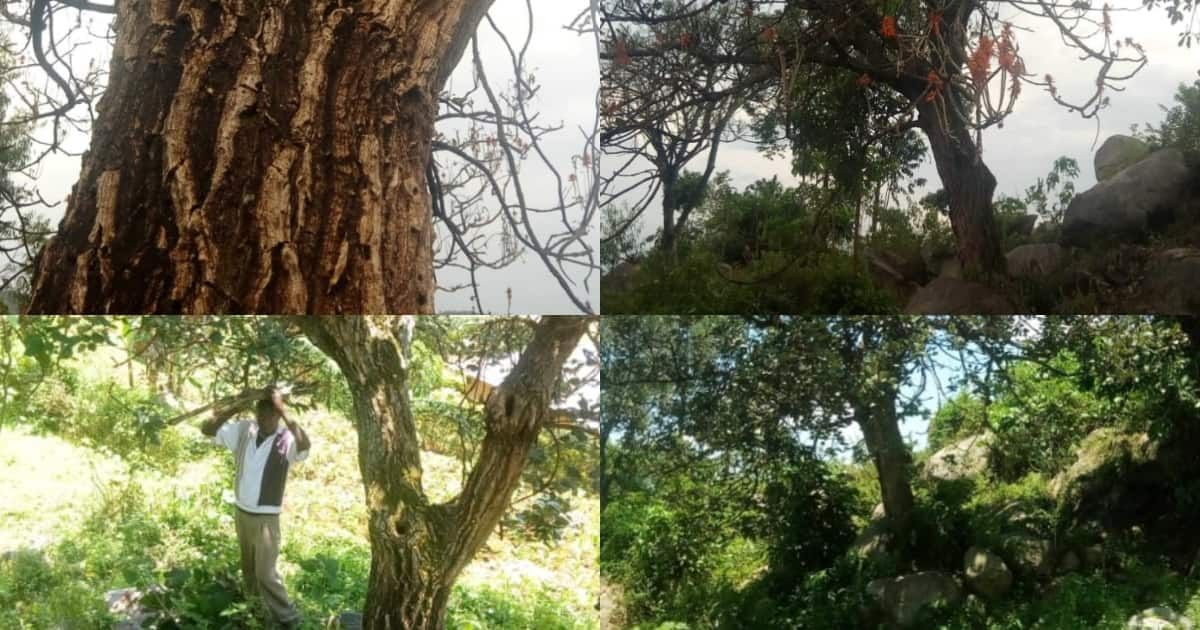 Indigenous tree claimed to miraculously heal infections among Luhyas