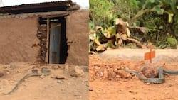 Baringo: Chatu Mkubwa Atembelea Kaburi la Mshikaji Nyoka Kumuomboleza