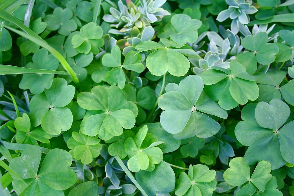 What does a 5 leaf clover mean