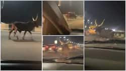 Video Shows Cow Running on Busy Bridge at Night, Sparks Reactions