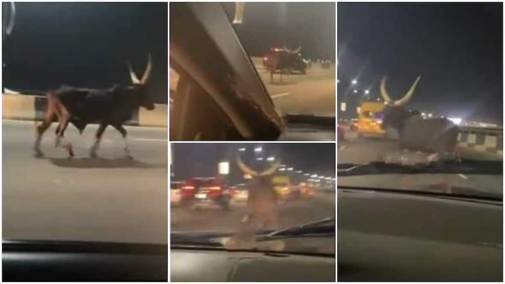 Many wanted to know how the cow got on the bridge.