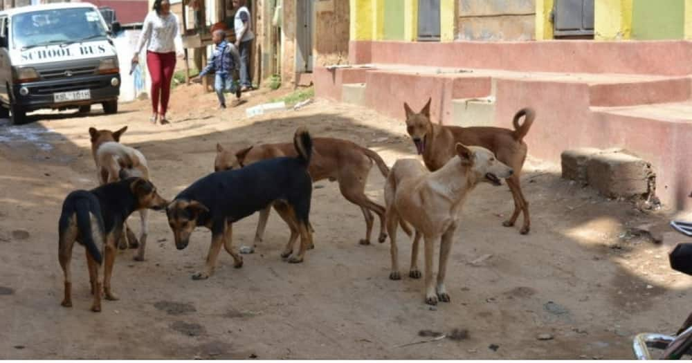 23-Year-Old Pregnant Woman Dies after Stray Dog Bit Her in Lower Kabete