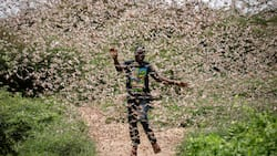 Locusts invasion: Second wave of swarms spotted in Taita Taveta, Mandera and Wajir counties