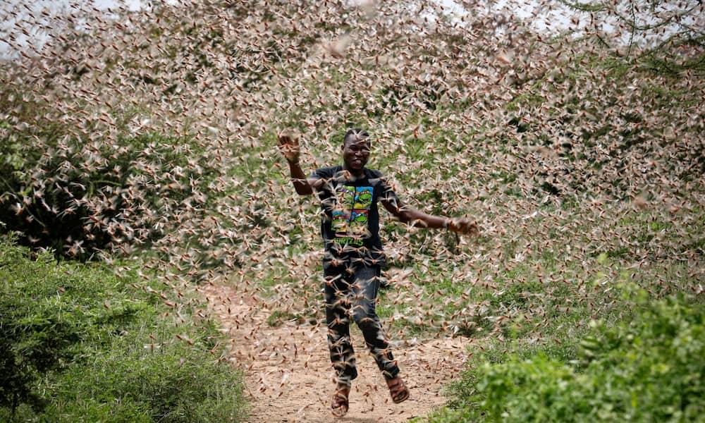 Fresh swarms of desert locusts have been sported in Taita Taveta, Mandera and Wajir counties. Photo: The Guardian