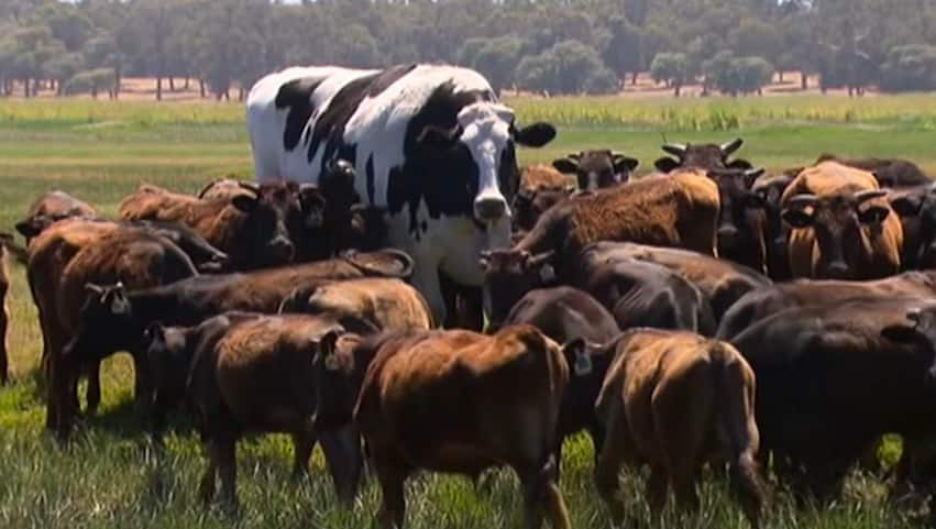 Giant viral Australian cow weighing 1.4 tonnes rejected by slaughterhouses