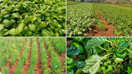 Young lady succeeds in farming, shows off her plantation