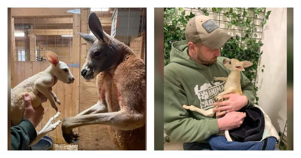 Extremely rare white kangaroo born in New York