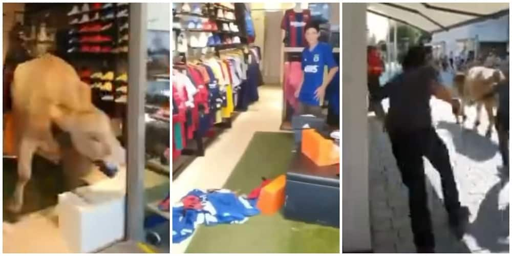 Video Shows Hilarious Moment Cow Enters Store, Sends Social Media into Funny Frenzy