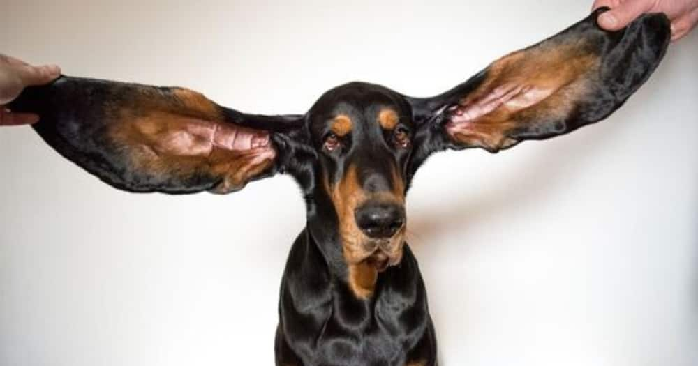 Lou is the world's dog with the longest ears. Photo: Guinness World Records.