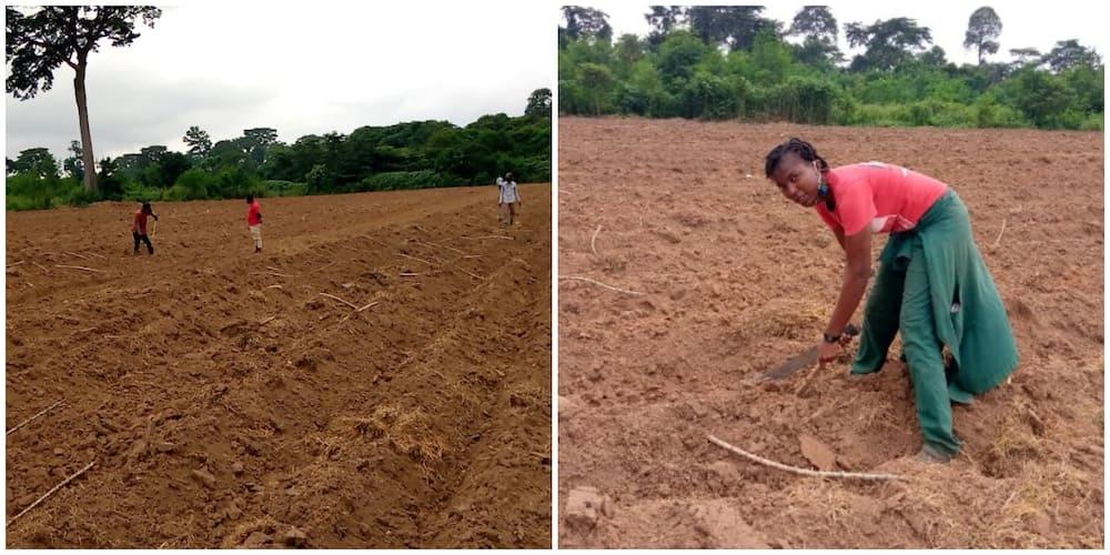 Nigerian Lady Showcases the Large Hectares of Land She Grew Cassava on, Impresses Many People